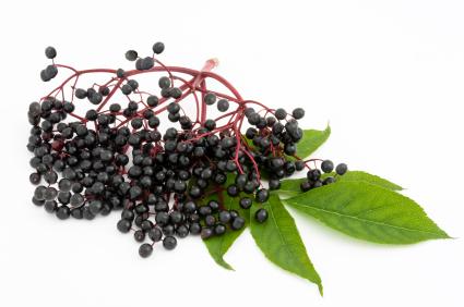 elderberry twig