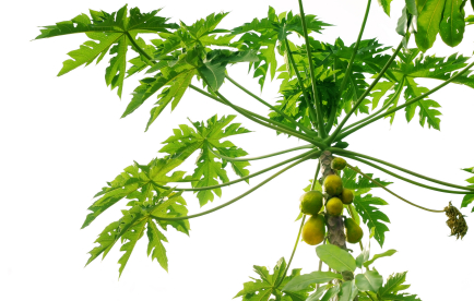 Papaya leaf extract kills cancer cells and leaves healthy cells unharmed. Papaya leaf extract works better than chemotherapy.