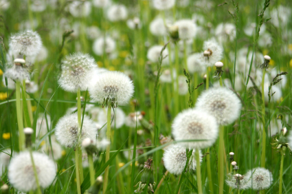 Eating dandelion can fight cancer.