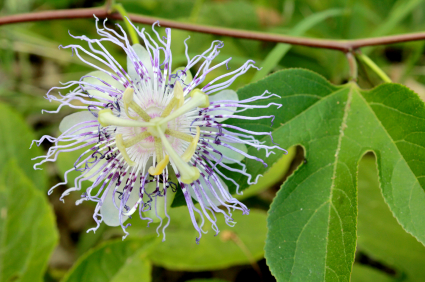 A symbolic plant has been used in Native medicine for centuries to treat anxiety. This ancient purple flower has none of the side effects of a prescription.