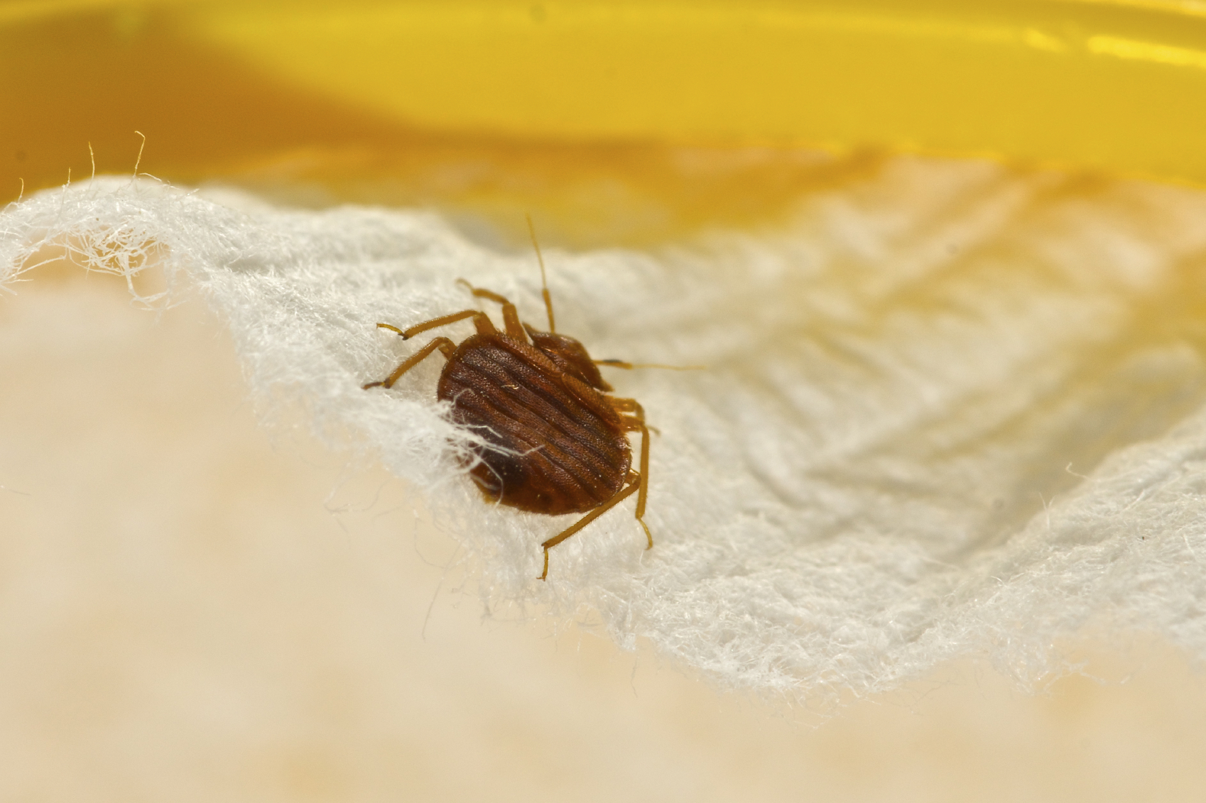 Scientists have discovered bedbugs have developed a defense against chemical sprays. Here's how to kill them naturally without toxic insecticides.